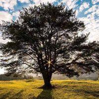 Photo of oak tree in meadow